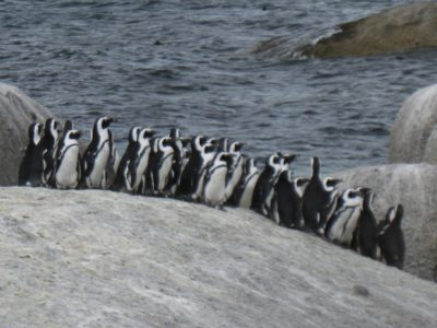 Boulders Penguin Colony huddle of penguins on a big rock