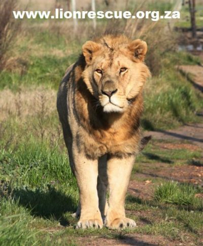 Drakenstein Lion Park young male lion walking towards camera