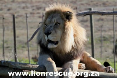 Drakenstein Lion Park young male lion lying on wooden structure