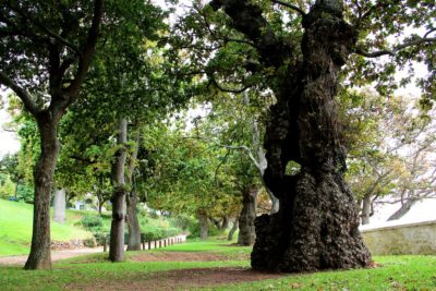 Groot Constantia Estate Tour big old tree with hole through