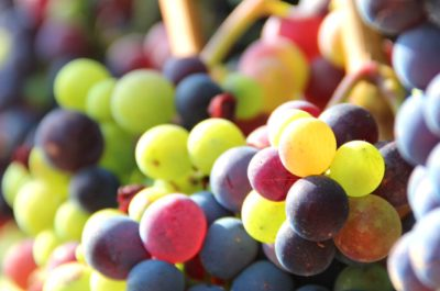 Groot Constantia Wine and Chocolate Pairing colourful grapes close-up with sun from side
