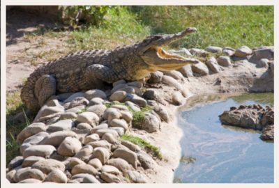 Le Bonheur Crocodile Farm big crocodile with gaping jaw on side of water