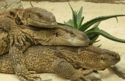 Reptile Garden Bellville three reptiles stacked to share body heat