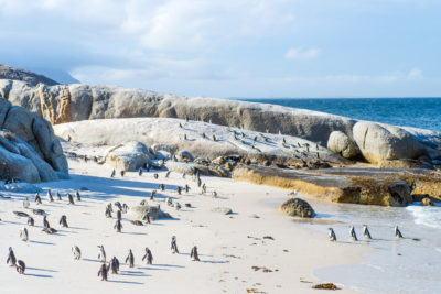 Boulders Beach colony of penguins on beach
