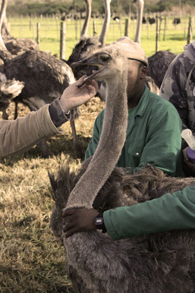 Cape Point Ostrich Farm administering medicine to ostrich
