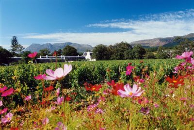 Groot Constantia Estate Tour wild flowers with vines in the background
